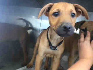 Mix-Bred BLACK MOUTH CUR Male  Young  Puppy #A435068#  Animal Care Services (San Antonio) - click here to view larger pic