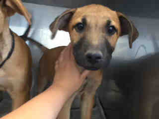 Mix-Bred BLACK MOUTH CUR Male  Young  Puppy #A435069#  Animal Care Services (San Antonio) - click here to view larger pic
