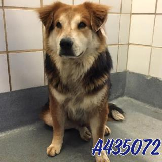 Mix-Bred AUSTRALIAN SHEPHERD Male  Adult  Dog #A435072#  Animal Care Services (San Antonio) - click here to view larger pic