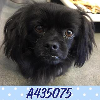 PEKINGESE Male  Adult  Dog #A435075#  Animal Care Services (San Antonio) - click here to view larger pic