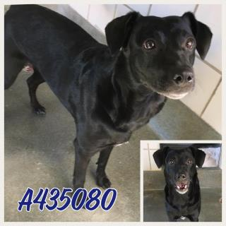 Mix-Bred PATTERDALE TERRIER Female  Adult  Dog #A435080#  Animal Care Services (San Antonio) - click here to view larger pic