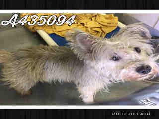 Mix-Bred SCHNAUZER - MINIATURE Male  Adult  Dog #A435094#  Animal Care Services (San Antonio) - click here to view larger pic