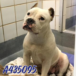 Mix-Bred AMERICAN STAFFORDSHIRE TERRIER Female  Adult  Dog #A435095#  Animal Care Services (San Antonio) - click here to view larger pic