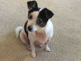 Mix-Bred TERRIER Female  Adult  Dog #A435100#  Animal Care Services (San Antonio) - click here to view larger pic