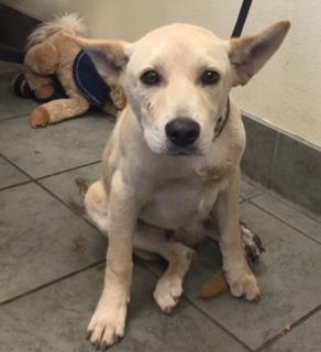 Mix-Bred AUSTRALIAN CATTLE DOG Male  Young  Puppy #A435102#  Animal Care Services (San Antonio) - click here to view larger pic
