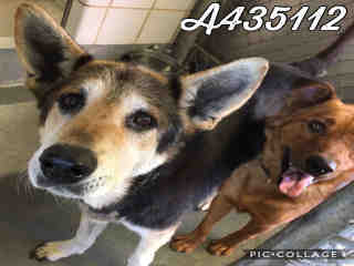Mix-Bred SHEPHERD Female  Older  Dog #A435112#  Animal Care Services (San Antonio) - click here to view larger pic