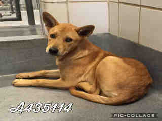 SHEPHERD Male  Adult  Dog #A435114#  Animal Care Services (San Antonio) - click here to view larger pic