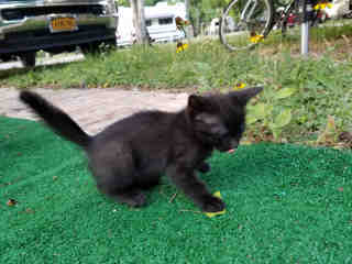 Mix-Bred DOMESTIC SHORTHAIR Female  Young  Kitten #A435116#  Animal Care Services (San Antonio) - click here to view larger pic