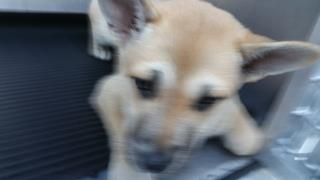 Mix-Bred SHEPHERD Female  Young  Puppy #A435119#  Animal Care Services (San Antonio) - click here to view larger pic