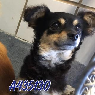 Mix-Bred CHIHUAHUA - LONG HAIRED Female  Young  Puppy #A435130#  Animal Care Services (San Antonio) - click here to view larger pic