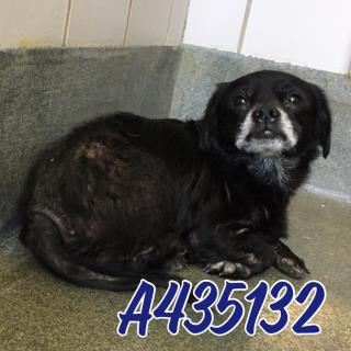 Mix-Bred CHIHUAHUA - LONG HAIRED Male  Adult  Dog #A435132#  Animal Care Services (San Antonio) - click here to view larger pic