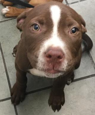 Mix-Bred LABRADOR RETRIEVER Female  Young  Puppy #A435142#  Animal Care Services (San Antonio) - click here to view larger pic