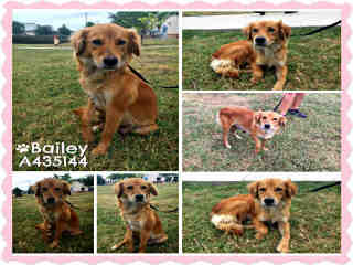 Mix-Bred GOLDEN RETRIEVER Female  Adult  Dog #A435144#  Animal Care Services (San Antonio) - click here to view larger pic