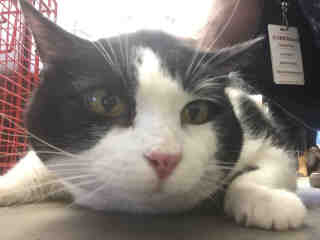 Mix-Bred DOMESTIC SHORTHAIR Female  Adult  Cat #A435149#  Animal Care Services (San Antonio) - click here to view larger pic