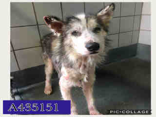 Mix-Bred ALASKAN HUSKY Male  Adult  Dog #A435151#  Animal Care Services (San Antonio) - click here to view larger pic