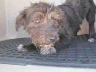 Mix-Bred SCHNAUZER - MINIATURE Female  Young  Puppy #A435157#  Animal Care Services (San Antonio) - click here to view larger pic