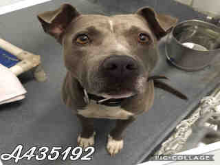 Mix-Bred AMERICAN STAFFORDSHIRE TERRIER Female  Young  Puppy #A435192#  Animal Care Services (San Antonio) - click here to view larger pic