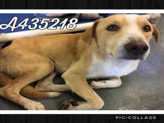 Mix-Bred LABRADOR RETRIEVER Male  Adult  Dog #A435218#  Animal Care Services (San Antonio) - click here to view larger pic