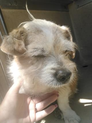 Mix-Bred TERRIER Female  Adult  Dog #A435219#  Animal Care Services (San Antonio) - click here to view larger pic