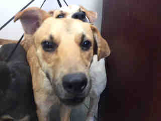 Mix-Bred SHEPHERD Male  Young  Puppy #A435223#  Animal Care Services (San Antonio) - click here to view larger pic