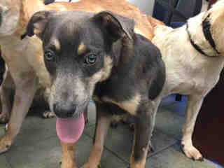 Mix-Bred SHEPHERD Male  Young  Puppy #A435224#  Animal Care Services (San Antonio) - click here to view larger pic