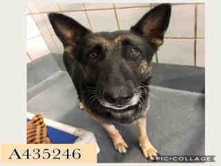 GERMAN SHEPHERD DOG Female  Adult  Dog #A435246#  Animal Care Services (San Antonio) - click here to view larger pic