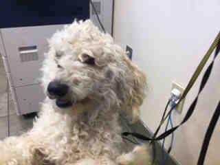 Mix-Bred POODLE - MINIATURE Male  Adult  Dog #A435248#  Animal Care Services (San Antonio) - click here to view larger pic