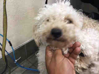 Mix-Bred POODLE - MINIATURE Male  Adult  Dog #A435249#  Animal Care Services (San Antonio) - click here to view larger pic