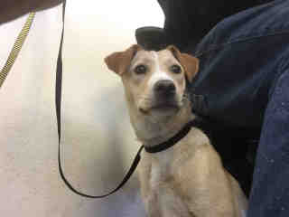 Mix-Bred LABRADOR RETRIEVER Female  Young  Puppy #A435252#  Animal Care Services (San Antonio) - click here to view larger pic