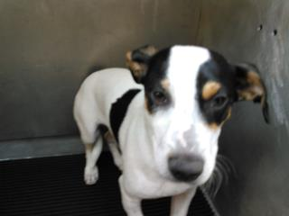 JACK (PARSON) RUSSELL TERRIER Male  Young  Puppy #A435293#  Animal Care Services (San Antonio) - click here to view larger pic
