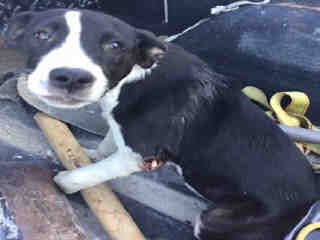Mix-Bred COLLIE - SMOOTH Female  Young  Puppy #A435294#  Animal Care Services (San Antonio) - click here to view larger pic