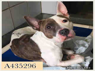 Mix-Bred AMERICAN STAFFORDSHIRE TERRIER Female  Adult  Dog #A435296#  Animal Care Services (San Antonio) - click here to view larger pic