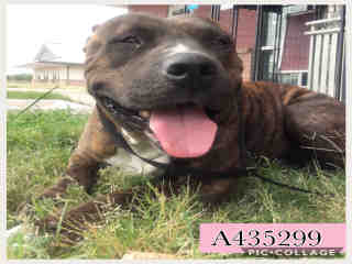 Mix-Bred AMERICAN STAFFORDSHIRE TERRIER Female  Young  Puppy #A435299#  Animal Care Services (San Antonio) - click here to view larger pic