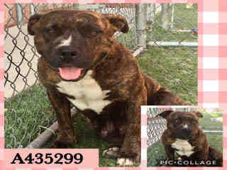 Mix-Bred AMERICAN STAFFORDSHIRE TERRIER Female  Adult  Dog #A435299#  Animal Care Services (San Antonio) - click here to view larger pic