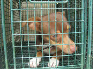 CHIHUAHUA - SMOOTH COATED Female  Young  Puppy #A435349#  Animal Care Services (San Antonio) - click here to view larger pic