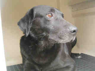 LABRADOR RETRIEVER Male  Adult  Dog #A435352#  Animal Care Services (San Antonio) - click here to view larger pic
