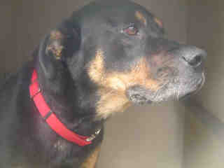 Mix-Bred ROTTWEILER Male  Young  Puppy #A435356#  Animal Care Services (San Antonio) - click here to view larger pic