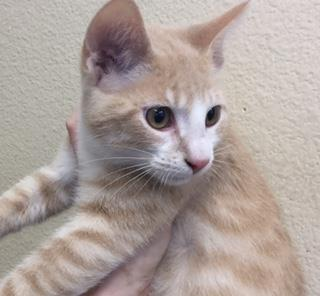 Mix-Bred DOMESTIC SHORTHAIR Male  Young  Kitten #A435361#  Animal Care Services (San Antonio) - click here to view larger pic