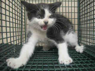 Mix-Bred DOMESTIC MEDIUMHAIR Female  Young  Kitten #A435373#  Animal Care Services (San Antonio) - click here to view larger pic