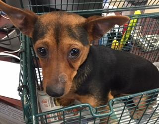 Mix-Bred CHIHUAHUA - SMOOTH COATED Male  Young  Puppy #A435376#  Animal Care Services (San Antonio) - click here to view larger pic