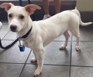 Mix-Bred TERRIER Male  Young  Puppy #A435385#  Animal Care Services (San Antonio) - click here to view larger pic