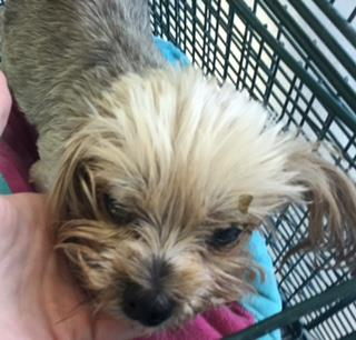 Mix-Bred YORKSHIRE TERRIER Female  Older  Dog #A435397#  Animal Care Services (San Antonio) - click here to view larger pic