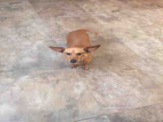 Mix-Bred DACHSHUND Female  Adult  Dog #A435398#  Animal Care Services (San Antonio) - click here to view larger pic