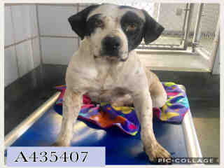 Mix-Bred POINTER Female  Adult  Dog #A435407#  Animal Care Services (San Antonio) - click here to view larger pic