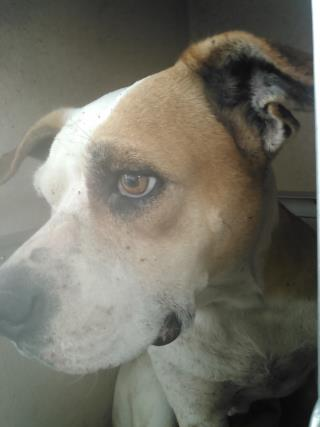 Mix-Bred POINTER Female  Adult  Dog #A435408#  Animal Care Services (San Antonio) - click here to view larger pic