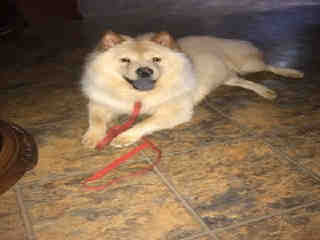 Mix-Bred CHOW CHOW Male  Young  Puppy #A435411#  Animal Care Services (San Antonio) - click here to view larger pic