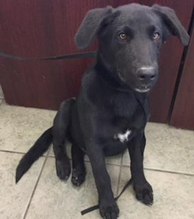 Mix-Bred LABRADOR RETRIEVER Male  Young  Puppy #A435417#  Animal Care Services (San Antonio) - click here to view larger pic