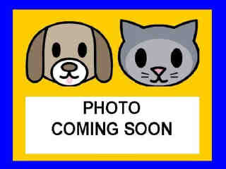 GERMAN SHEPHERD DOG Male  Young  Puppy #A435433#  Animal Care Services (San Antonio) - click here to view larger pic
