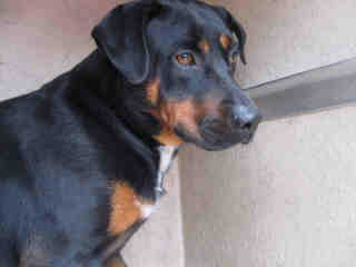 Mix-Bred GREATER SWISS MOUNTAIN DOG Male  Adult  Dog #A435472#  Animal Care Services (San Antonio) - click here to view larger pic