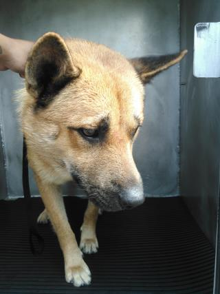 Mix-Bred SHEPHERD Male  Young  Puppy #A435476#  Animal Care Services (San Antonio) - click here to view larger pic